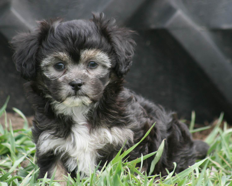 The Havanese Shih Tzu Pawpawrazzi Pups
