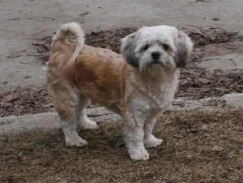 Bailey is an affectionate 11 pound 3/4 Havanese Shih Tzu cross.
